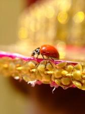 disco ladybug